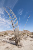 Ocotillo cactus Royalty Free Stock Image