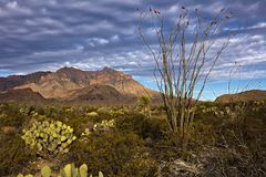 Ocotillo Royalty Free Stock Image
