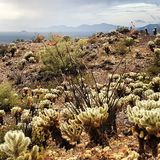 Ocotillo and Cholla Stock Photo