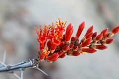 Ocotillo Crimson Bloom Stock Image