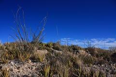 Ocotillo dans le grand désert du Texas de courbure Image libre de droits