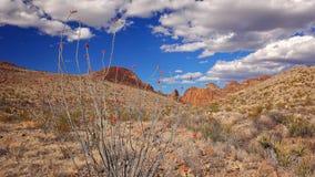 Ocotillo de florescência no parque nacional de curvatura grande imagem de stock royalty free