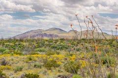 Ocotillo e fiori di carta, catena montuosa di Chisos, grande parco nazionale della curvatura, TX Fotografia Stock Libera da Diritti