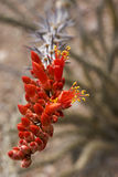 Ocotillo floreciente del desierto Imagenes de archivo