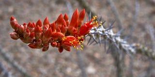 Ocotillo floreciente del desierto Imágenes de archivo libres de regalías