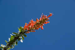 Ocotillo Flower. Red Ocotillo Cactus Flower against Spring Blue Sky Royalty Free Stock Photos