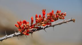 Ocotillo Flower in Bloom Stock Photo