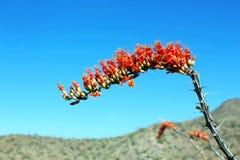 Ocotillo flower in Saguaro National Park stock image