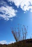 Ocotillo flower in Saguaro National Park. Ocotillo are blooming in Saguaro National Park in Tucson, Arizona stock image