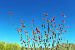 Ocotillo flower in Saguaro National Park. Ocotillo flowers are in bloom in Saguaro National Park in Tucson, Arizona Stock Photos