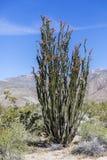 Ocotillo  flowering in Anza-Borrego State Park, California Stock Photography