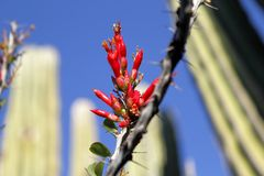 Ocotillo flowers Stock Photo