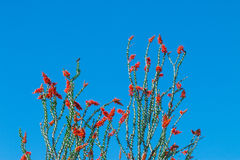 Ocotillo flowers blooming. royalty free stock photography