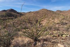 Ocotillo, Fouquieria splendens, and assorted other cacti in Saguaro National Park. stock photo