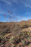 Ocotillo, Fouquieria splendens, and assorted other cacti in Saguaro National Park. stock image