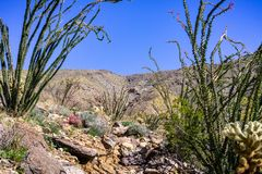 Ocotillo Fouquieria splendens plant blooming in Anza Borrego Desert State Park, south California stock photography