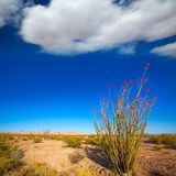 Ocotillo Fouquieria splendens red flowers in Mohave desert Royalty Free Stock Image