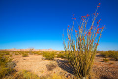 Ocotillo Fouquieria splendens red flowers in Mohave desert Royalty Free Stock Photos
