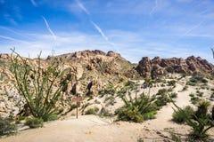 Ocotillo Fouquieria splendens rośliny przy wejściem Przegrany palmy oazy jar, Joshua drzewa park narodowy, Kalifornia obraz royalty free