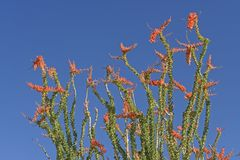 Ocotillo in Full Spring Bloom Stock Image
