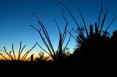 Ocotillo Guardians. Three ocotillo cacti stand guard over the desert as the sun sets beneath a colorful display Royalty Free Stock Photo