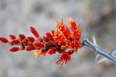 Ocotillo-Hochrot-Blüte Stockfotos