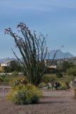 Ocotillo nära fyra maxima Royaltyfri Bild