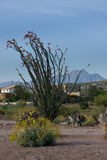 Ocotillo near Four Peaks. The Ocotillo Cactus is unique as the branches are rarely more than two inches thick and each one will have a bloom. As the rain royalty free stock image