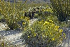 Ocotillo okwitnięcia i pustynni złociści kolorów żółtych kwiaty w wiośnie przy kojota jarem, Anza-Borrego stanu Pustynny park bli Zdjęcie Royalty Free