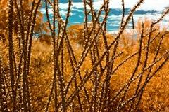 Ocotillo, piante e cielo blu falsi infrarossi di colore Immagini Stock Libere da Diritti