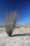 Ocotillo plant. Ocotillo blooming in the desert stock image