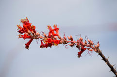 Ocotillo plant against a blue sky. Close up of a red ocotillo branch against a blue sky royalty free stock photo