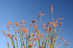 Ocotillo plant. Ocotillo desert plant blooming at the spring time stock image