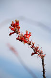 Ocotillo plant. Red ocotillo blossoms against a blue sky royalty free stock image