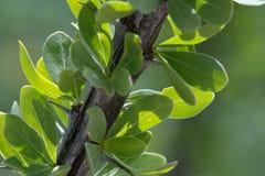 Ocotillo Pustynny kaktus Opuszcza zakończenie zdjęcia royalty free