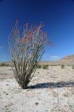 ocotillo roślina Obraz Stock