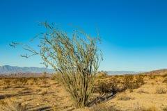 Ocotillo roślina Obrazy Stock