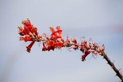 Ocotillo roślina przeciw niebieskiemu niebu zdjęcie royalty free