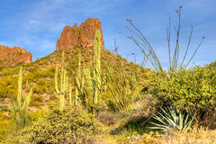Ocotillo Stock Images