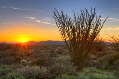 Ocotillo. Sonoran Desert catching days last rays stock photo
