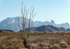 Kofa National Wildlife Refuge. Ocotillo in the Sonoran Desert, Kofa National Wildlife Refuge stock photography