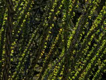 Ocotillo leaves in backlighting. Ocotillo in the Sonoran Desert, leaves backlit by the sun stock images