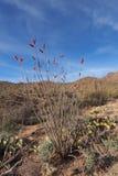 Ocotillo, splendens de Fouquieria, et assorti d'autres cactus en parc national de Saguaro image stock