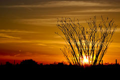 Ocotillo at sundown stock photo