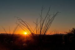 Ocotillo sunset Stock Images