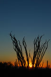 Ocotillo sunset. Sunset in the Sonoran Desert. The ocotillo plant (fouquieria splendens) has long spiny stems which bloom from Mar - Jun. The plant has a royalty free stock photography