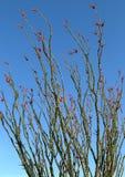 Ocotillocactus Fouquieria splendens, de lentebloei in Arizona royalty-vrije stock foto
