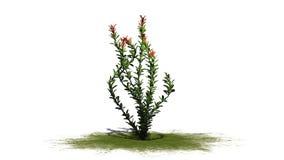 Ocotilloen blommar på en grön erea Royaltyfria Bilder