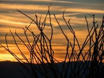 Ocotillokontur mot en Arizona solnedgång royaltyfria foton