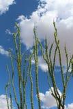 Ocotillos atteignant haut dans le ciel Photographie stock